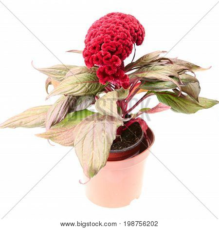 Celosia Flower With Leaves In Pot