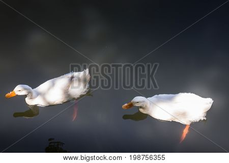 Double geese swimming in lake stock photo