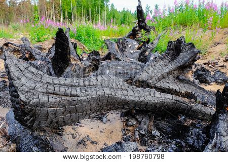 burned tree roots in the middle of the field