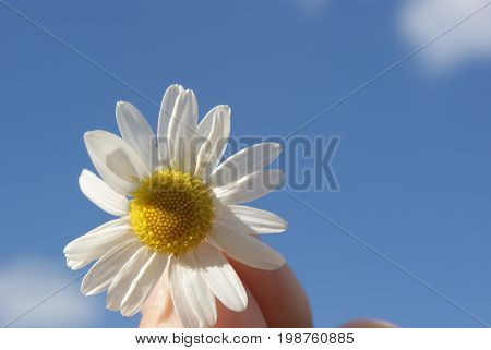Chamomile Against The Sky. A Beautiful Scene Of Nature With Blooming Medical Chamois. Alternative Me