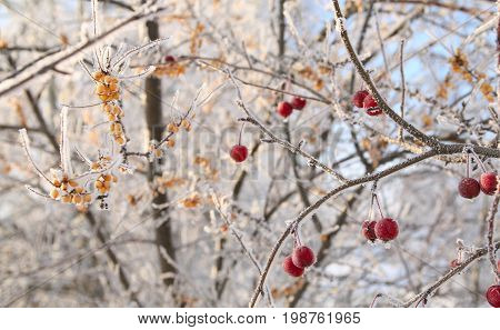 Berries In The Frost