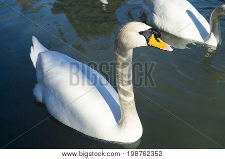 Swans on the monastic ponds in Abkhazia, Mount New Athos.