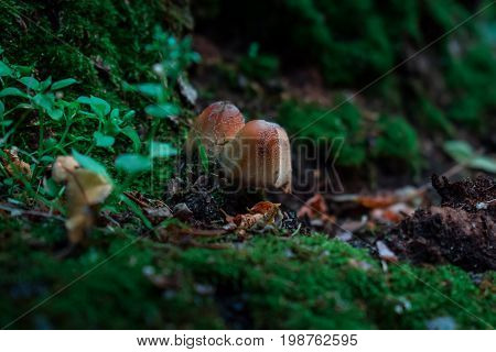 Mushrooms in the forest two toadstools under a tree