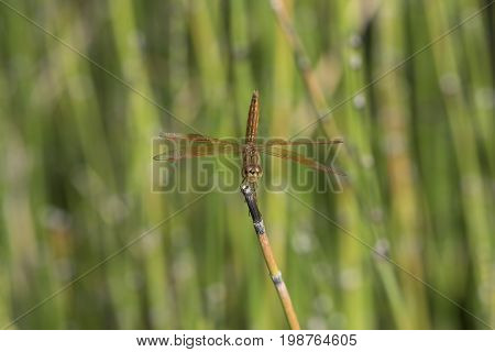 Macrophotography of a beautiful dragonfly onto of horsetail grass