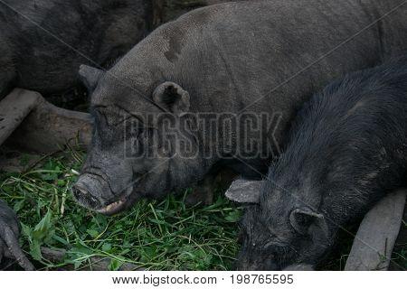 Pigs eat grass, breeding pigs, livestock, farm