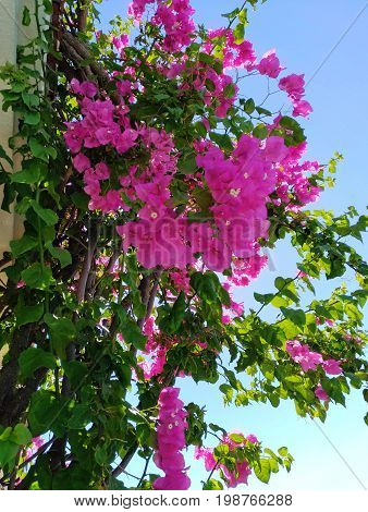 Lesser bougainvillea (Bougainvillea glabra), bougainvillea flowers Large lush decorative bush with bright crimson flowers and green leaves against a blue sky background poster