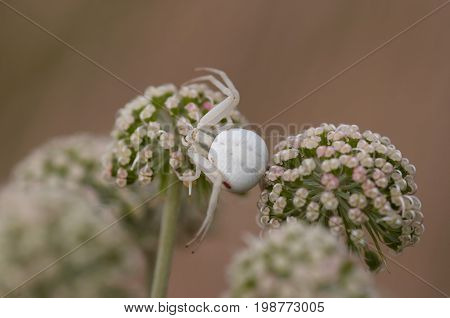 Detail of the white spider lurking for prey