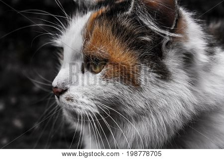 cat with white, orange and black hair