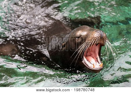 A Sea Lion adult male with open mouth