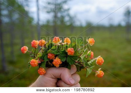 A person holds a bouquet of cloudberries against the backdrop of the swamp, where it was collected. Delicious and healthy food