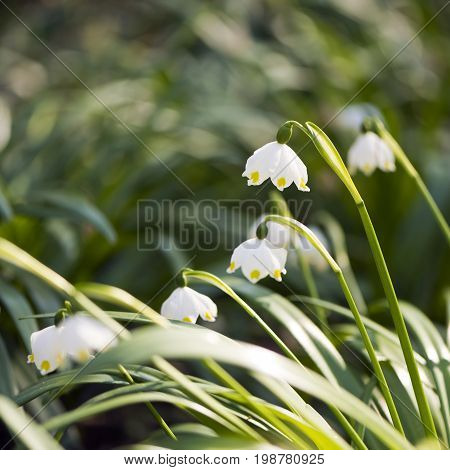 Several snowflakes (snowbells dewdrops) blooming in the spring