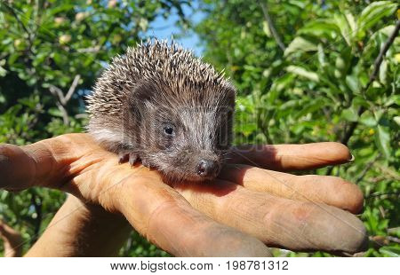 Hedgehog in the hands. Little hedgehog on the palm of your hand
