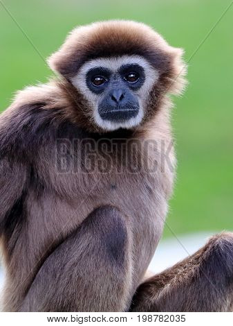 Portrait of a beautiful white-handed gibbon with a green background