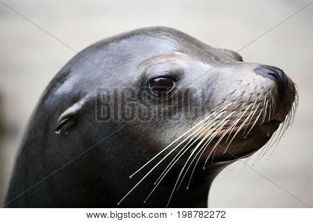 A Sea Lion portrait with a blurry background