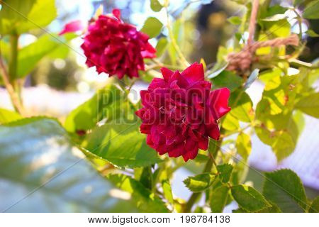 Rose Bush in the garden in the sun. Pink and red roses on the bushes. Landscaping. Caring for garden roses shrubs
