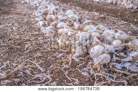 Lines of unearthed onions for dehydrated food industry. Guadiana Meadows Badajoz Spain