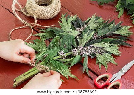 Girls bind motherwort (Leonurus cardiaca) in bundles for drying. Harvesting medicinal plants. Used in herbal medicine it is valuable honey plant. Motherwort scissors and twine on brown wooden table