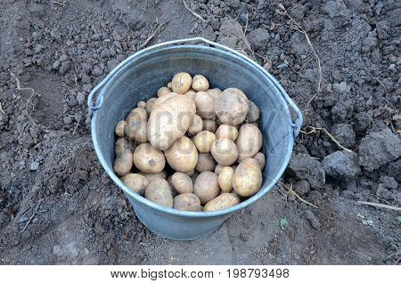 Harvested potato harvest in a metal bucket.