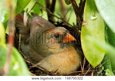 A close-up of a female cardinal in the nest sitting on her hours old newborn chicks