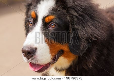 Bernese mountain dog. Head with open mouth and put out a red tongue against the background of green blurred grass. Space under the text. 2018 year of the dog in the eastern calendar Concept: parodist dogs, dog friend of man, true friends, rescuers.