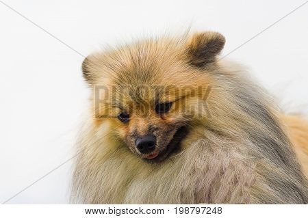 Pomeranian Spitz Looks down, green background. Space under the text. 2018 year of the dog in the eastern calendar Concept: parodist dogs, dog friend of man, true friends, rescuers.