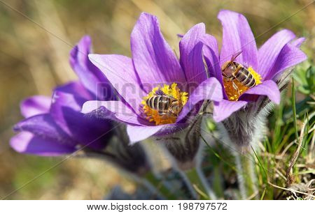 detail of honeybee in latin Apis Mellifera european or western honey bees pollinated on the violet flowering Pasqueflover