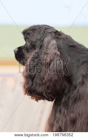 American Cocker Spaniyel, green background. Space under the text. 2018 year of the dog in the eastern calendar Concept: parodist dogs, dog friend of man, true friends, rescuers.