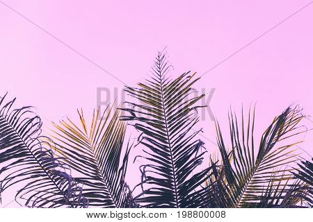 Fluffy coco palm tree leaf on sky background. Palm pink toned photo. Romantic tropical banner template with text place. Coco palm leaf ornament. Fluffy palm leaf backdrop. Beach wedding invitation