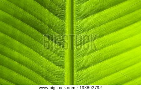 Green leaf close-up texture. Natural backdrop. Tropical nature detail. Fresh green banana leaf background. Exotic plant leaf banner template. Tropical leaf in sun surface. Eco-friendly package design