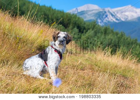 white and black fuzzy dog in green grass and high mountains at background, freedom travel concept, copy space