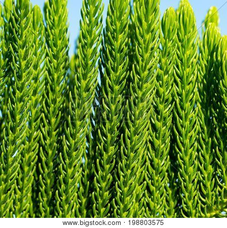 Green tropical plant background. Evergreen cypress closeup. Green tree branch macrophoto. Sunny garden with exotic flora. Tropical island nature in details. Summer in garden. Evergreen tree wallpaper