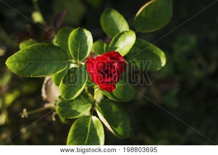 Tropical flower in garden photo. Red rose grow on flowerbed. Summer garden in sun. Red rose top view. Red flower and green leaf. Rose garden in sunny day. Gardening hobby. Plant in soil. Golden hour