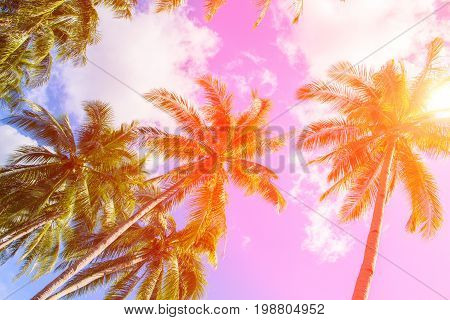 Coco palm tree in hot pink tone. Tropical landscape with palm. Palm tree crown on blue sky. Sunny tropical island instagram filter photo. Sunshine on palm leaf. Blooming tropical nature. Exotic travel