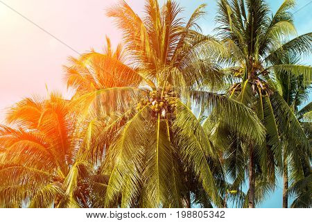 Coco palm tree in orange light. Tropical landscape with palms. Palm tree crown on blue sky. Sunny tropical island retro photo. Sunshine on palm leaf. Blooming tropical nature. Exotic island travel
