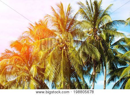 Orange light on coco palm trees. Tropical landscape with palms. Palm tree crown on blue sky. Sunny tropical island retro toned photo. Sunshine on palm leaf. Blooming tropic nature. Exotic island view