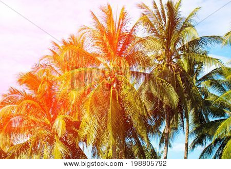 Orange flare on coco palm trees. Tropical landscape with palms. Palm tree crown on blue sky. Sunny tropical island toned photo. Blooming tropical nature. Exotic island banner template with text place