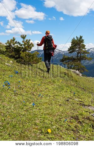 Traveler Goes Through The Alpine Meadow, Among Wildflowers