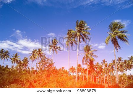 Orange light on coco palm trees. Tropical landscape with palms. Palm tree crown on blue sky. Sunny tropical island toned photo. Blooming tropical nature. Exotic island banner template with text place