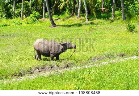 Big buffalo on green grass pasture. Asian agriculture travel photo. Carabao farm animal in Philippines. Buffalo bull on pasture. Green grass meadow in sunshine. Asian village scene. Domestic animal