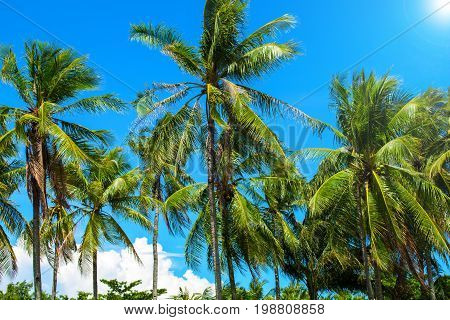 Coco palm tree with fluffy green leaves on bright sky. Tropical island landscape. Exotic vacation banner template. Tropic lifestyle background. Summer holiday. Tropical nature. Palms on blue sky