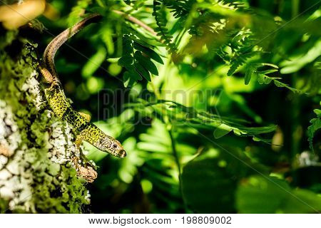 Iberian emerald lizard sunbathing over a tree with Royal ferns on the background
