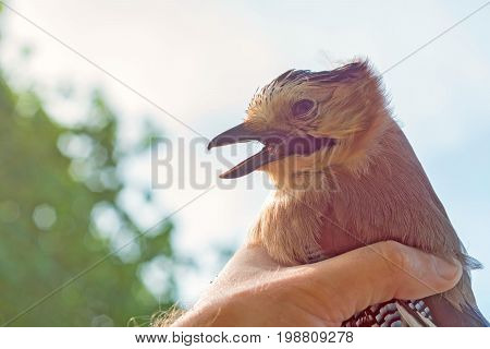 Scientist ornithologist examines caught bird. Eurasian jay or Garrulus glandarius