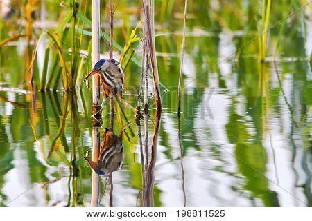Ixobrychus minutus in search of fishwaterbirds rare bird a bird with a long beak