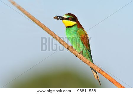 Blue-tailed Bee-eater. Specie Merops Philippinus Family Of Meropidae