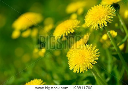Yellow dandelion flowers (Taraxacum officinale). Dandelions field background on spring sunny day. Blooming dandelion.