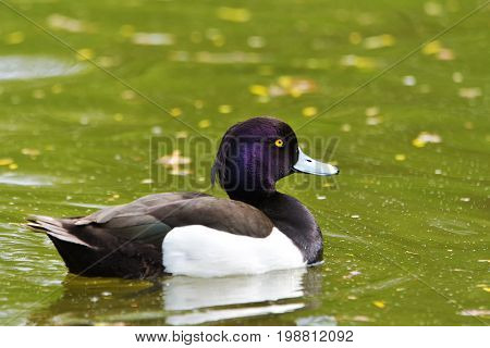 duck in natural habitat (aythya fuligula). portrait of swimming male tufted duck