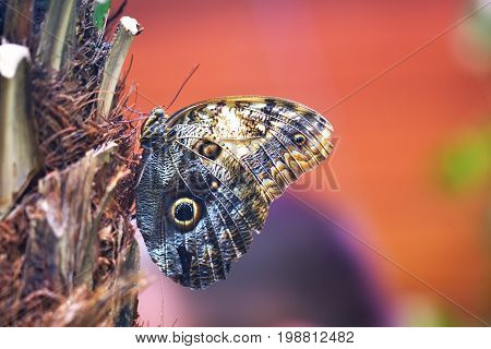 Giant Owl Butterfly (caligo Memnon). Enormous Central And Southern American Butterfly In The Family