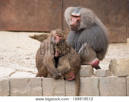 Two female hamadryas baboons with alpha male sitting behind them
