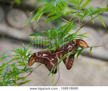 Ceanothus silkmoth or Hyalophora euryalus in a tree