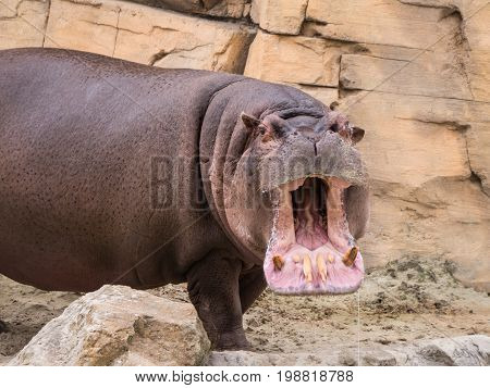 Hippotamus opens his big mouth and shows his teeth